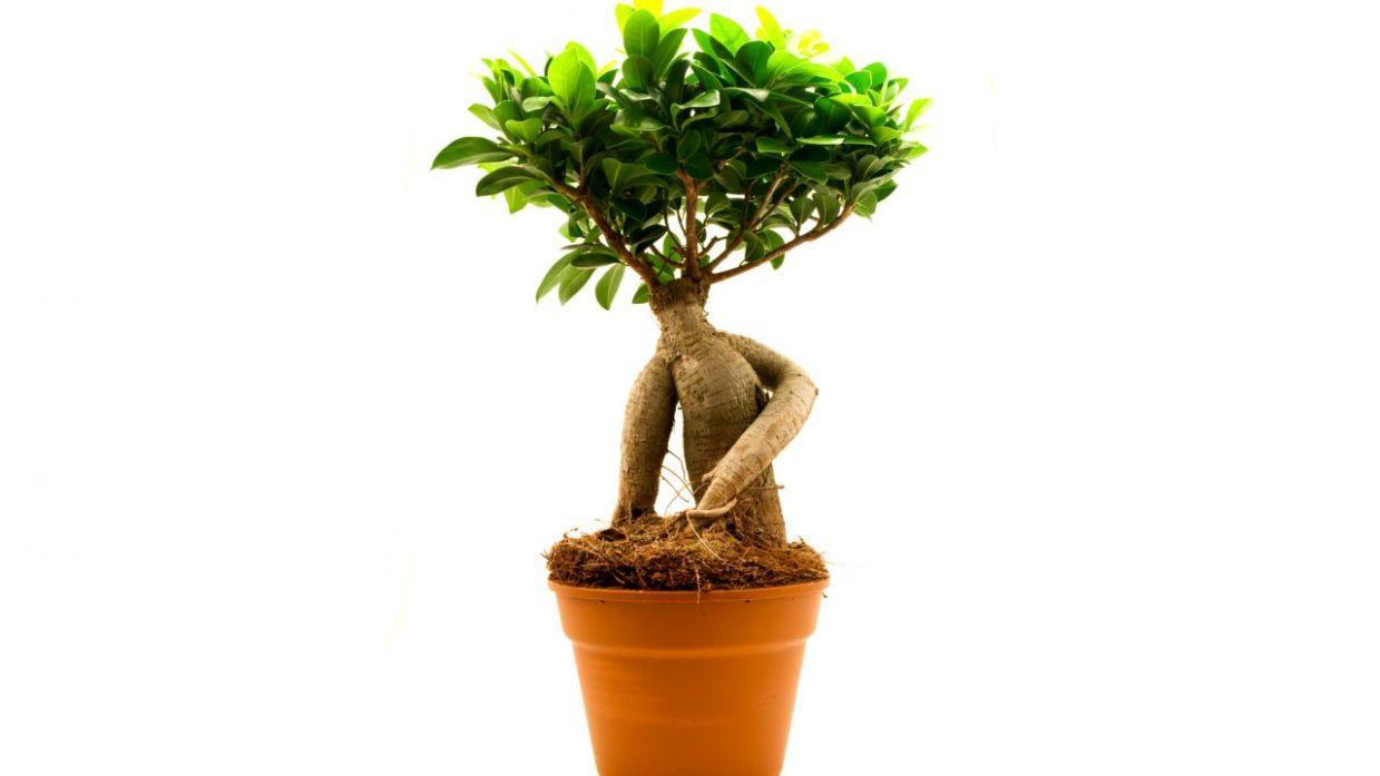 Plantación De Ficus Ginseng Y Nolina Decogarden